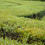 Hedge Labyrinth