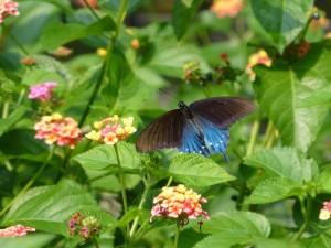 Butterfly  1252